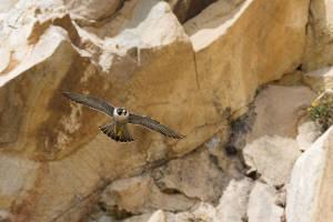 Fauna del Parco del Conero: Falco Pellegrino