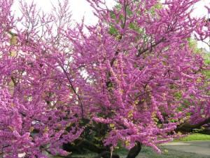 Albero di Giuda in fiore